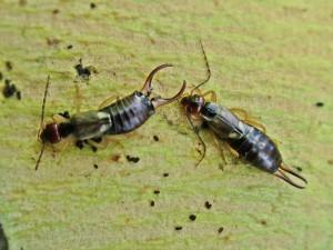 Ohrwürmer (Dermaptera)