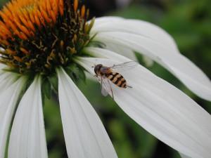Schwebfliegen (Syrphidae)